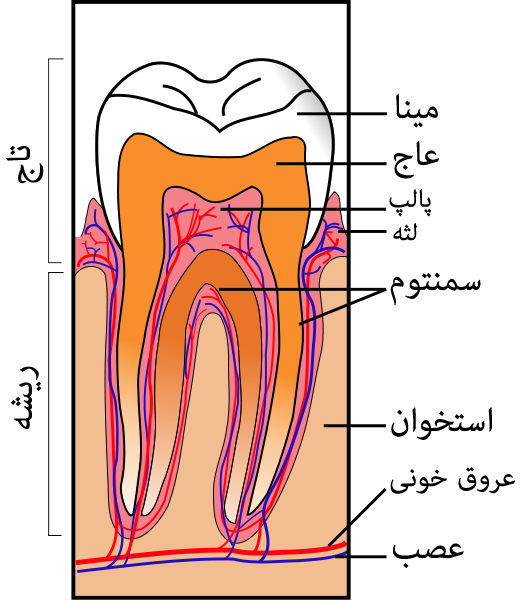 مینای دندان چیست؟
